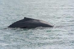 Humpback wieloryba pikowanie z fjord na tle zdjęcie royalty free