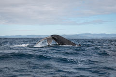 Humpback wieloryba pikowanie z swój ogonem na zewnątrz wody w Australia zdjęcie royalty free