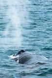 Humpback wieloryba plucia woda, Dalvik Iceland obraz royalty free