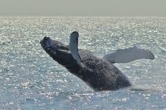 Humpback wieloryba pogwałcenia w światło słoneczne obrazy royalty free