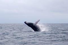 Humpback wieloryba przeskakiwać obraz stock