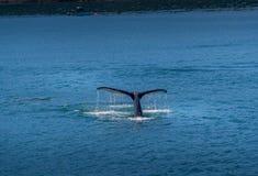 Humpback wieloryba ` s ogon zdjęcia royalty free