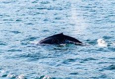 Humpback wieloryba ` s plecy fotografia stock