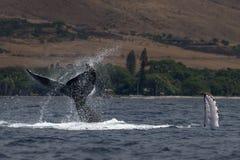 Humpback wieloryba szypuły rzut blisko Lahaina w Hawaje fotografia royalty free