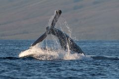 Humpback wieloryba szypuły rzut blisko Lahaina w Hawaje zdjęcia royalty free