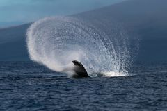 Humpback wieloryba szypuły rzut blisko Lahaina w Hawaje obraz royalty free