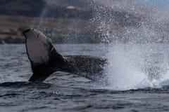 Humpback wieloryba szypuły rzut fotografia royalty free