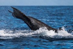 Humpback wieloryba szypuły rzut obrazy stock