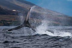 Humpback wieloryba szypu?y rzut zdjęcia stock