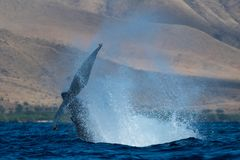 Humpback wieloryba szypu?y rzut obrazy stock