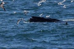 Humpback wieloryba usta otwarty karmienie z frajerami Obraz Stock