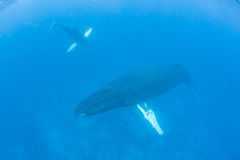 Humpback wieloryba łydka i matka Zdjęcie Stock