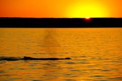 Humpback wieloryba zmierzch zdjęcia stock