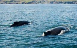 Humpback wieloryby zdjęcie stock