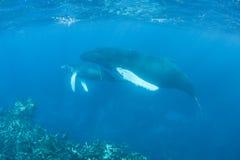 Humpback wieloryby Zdjęcie Royalty Free