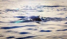 Humpback wieloryby fotografia royalty free