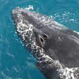 Humpback wieloryby obrazy royalty free