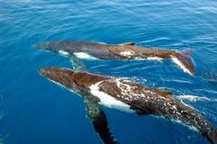 humpback wieloryby dwa obrazy royalty free