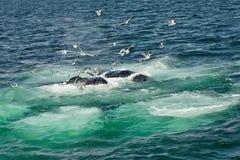 Humpback Wieloryby (Megaptera novaeangliae) zdjęcie stock