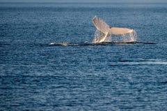 Humpback wieloryby pływa w Australia obrazy stock