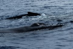 Humpback wieloryby pływa wpólnie fotografia stock