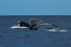 Humpback wieloryby spyhopping i ogonu fuks wpólnie zdjęcie royalty free