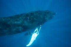 Humpback wieloryby w Nasłonecznionej wodzie obraz royalty free