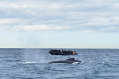 Humpback wieloryby w przyrodzie obrazy royalty free