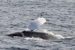 Humpback wieloryby z flipper z wody Zdjęcie Stock
