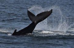 Humpback wieloryby z ogonem z wody Zdjęcie Royalty Free