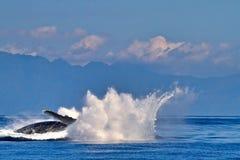 Humpback wieloryby zwalcza dla kojarzyć w parę dobro blisko Lahaina na Maui zdjęcia royalty free