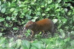 Humpbacked hare. Humpbacked hare – Agouti in a green grass. The golden small animal gets on in the neighborhood with people stock images