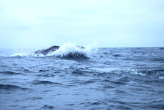 Humpbacked Whale. The knobbly dorsal fin of a Humpbacked Whale royalty free stock photography