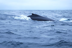 Humpbacked Whale. The knobbly dorsal fin of a Humpbacked Whale stock photos