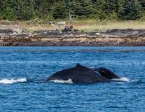 Humpbacks w Alaska obrazy stock