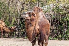2 humped верблюд Стоковое Фото