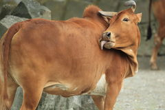 Humped cattle Royalty Free Stock Image