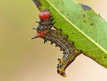 Humped vermelho Caterpillar em uma folha imagens de stock