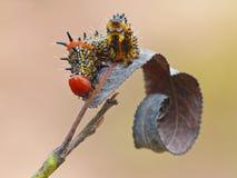 Humped vermelho Caterpillar na folha roxa fotografia de stock