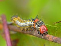 Humped vermelho Caterpillar na haste da planta de Brown imagem de stock royalty free