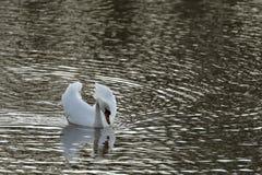 Humperschwan на воде Стоковые Изображения