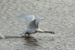 Humperschwan на воде Стоковое Изображение