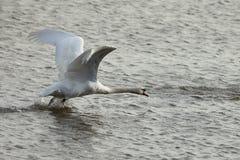 Humperschwan на воде Стоковое фото RF