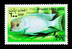Humphead丽鱼科鱼(Haplochromis moorii),鱼serie,大约1998年 库存图片