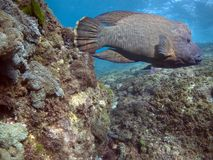 Humphead Royalty Free Stock Photo