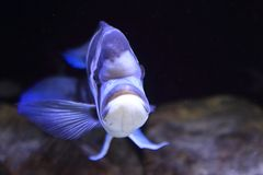 Humphead Cichlid Royalty-vrije Stock Foto's
