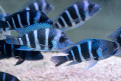 Free Humphead Cichlid Stock Images - 64267864