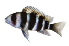 Humphead Cichlid Cyphotilapia frontosa akwarium ryba Zdjęcia Stock