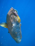 Humphead Maori Wrasse, Australia Royalty Free Stock Images