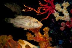 Humphead maori wrasse fish Stock Photography